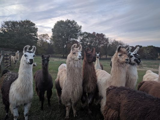 An image of a group of female llamas