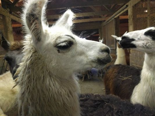 A group of llamas in the barn